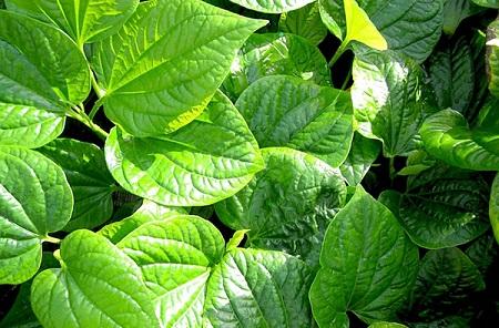 Lá lốt là loại rau quen thuộc trong bữa ăn hằng ngày, nhưng trong y học lá lốt cũng chính là vị thuốc trị bệnh rất hiệu quả